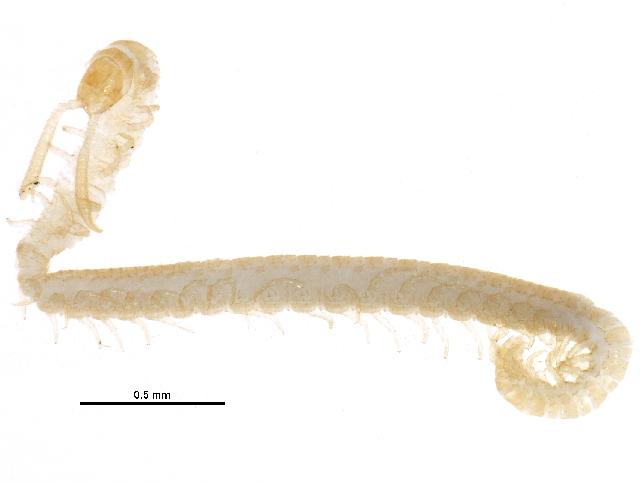 Image of Schendylidae