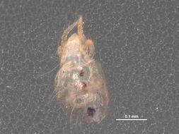 Image of <i>Hypochthonius rufulus</i> Koch 1835