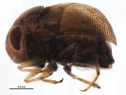 Image of Neoplea