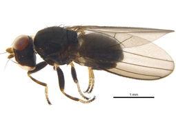 Image of <i>Aulacigaster neoleucopeza</i> Mathis & Freidberg 1994