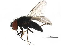 Image of <i>Eusiphona cooperi</i> Sabrosky 1955