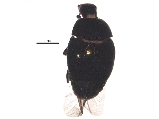 Image of <i>Geomysaprinus</i> (<i>Priscosaprinus</i>) <i>moniliatus</i> (Casey 1916)