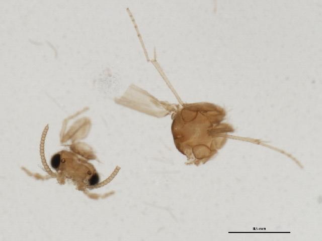 Image of Leucotrichiinae