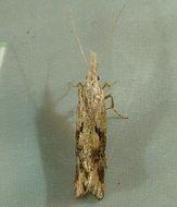 Image of <i>Euceratia securella</i> Walsingham 1881