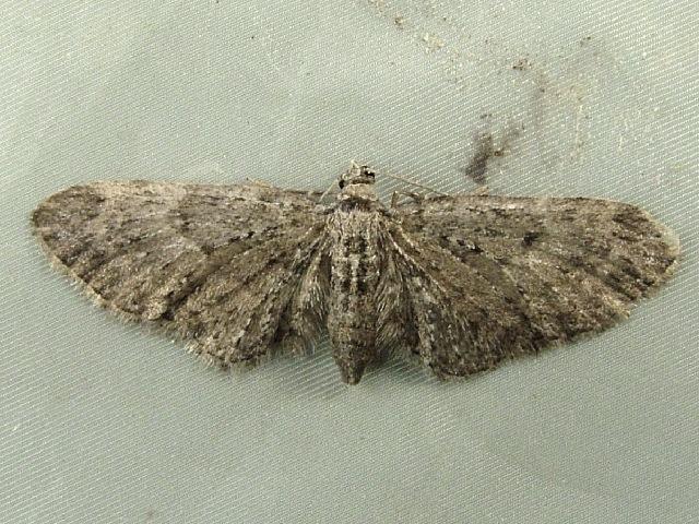 Image of <i>Eupithecia bryanti</i> Taylor 1906