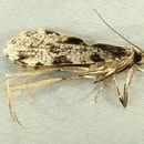 Image of <i>Morophagoides burkerella</i> (Busck 1904)