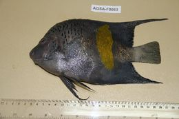 Image of black angelfishes