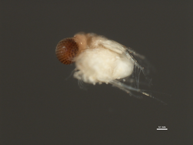 Image of predatory giant-eyed waterflea
