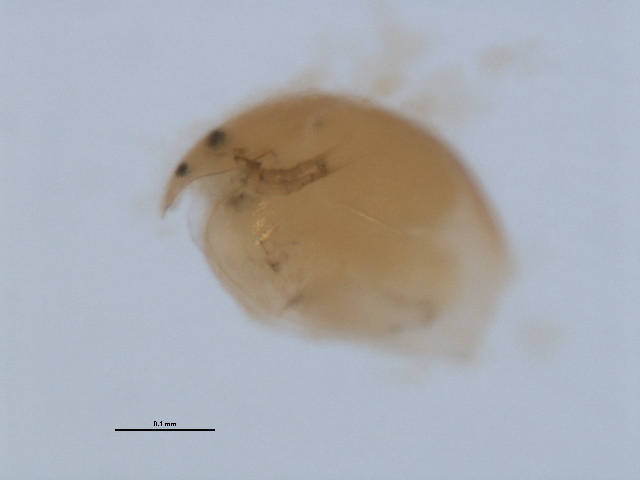 Image of <i>Alonella excisa</i> (Fischer 1854)