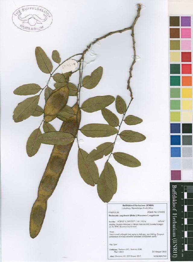 539.safh 13443 pericopsis angolensis f  angolensis 1405270090 jpg