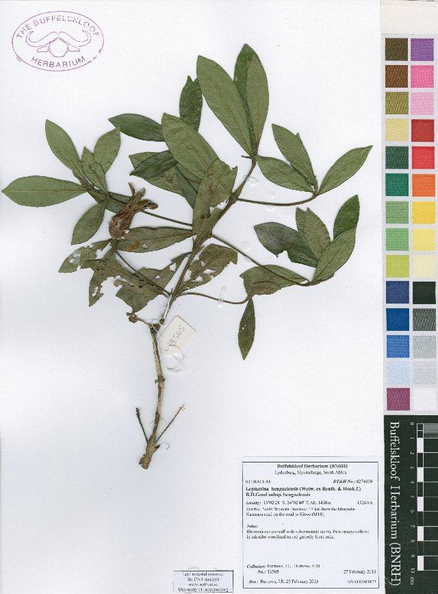 Image of Leptactina