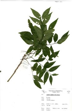Image of <i>Atalaya natalensis</i> R. A. Dyer