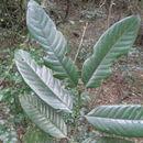 539.safh abbott9253 oxyanthus speciosu 03 1274885350 jpg.130x130