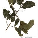 Image of <i>Cryptocarya latifolia</i> Sond.