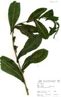 Image of sowthistle