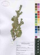 Image of Surianaceae