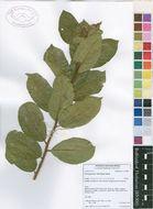 Image of Psorospermum
