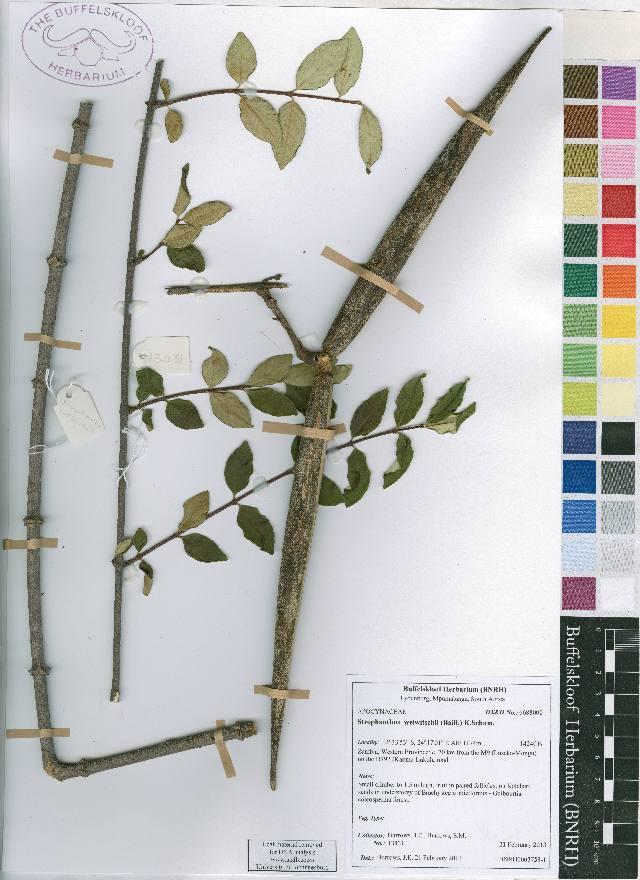 Image of strophanthus