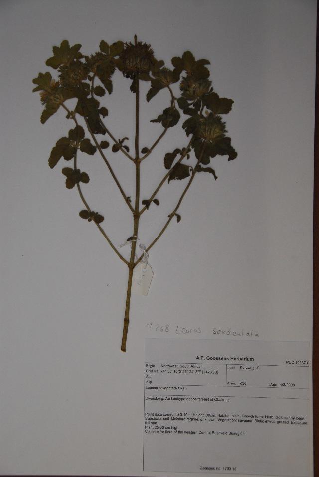 Image of leucas