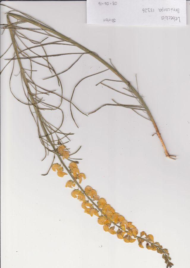 Image of Lebeckia