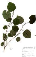 Image of Trimeria