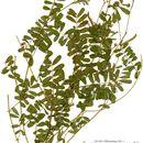 Image of Papilionoideae