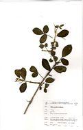 Image of <i>Vitex patula</i> E. A. Bruce
