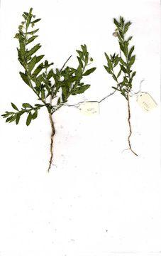 Image of greenviolet
