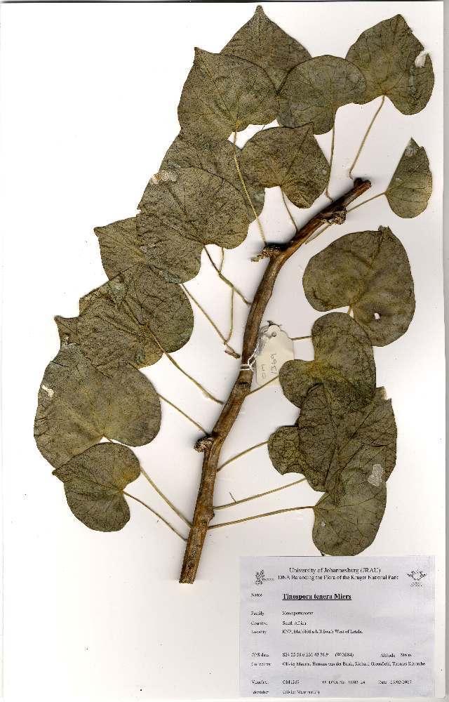 Image of <i>Tinospora tenera</i> Miers