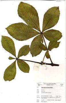 Image of <i>Vitex payos</i> (Lour.) Merr.
