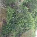 539.safh om2468 diospyros rotundifolia 3 1275149176 jpg.130x130