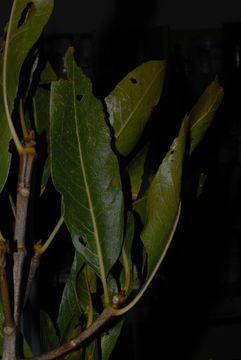 Image of Gland-leaf tree
