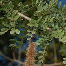 Image of <i>Ormocarpum trichocarpum</i> (Taub.) Engl.