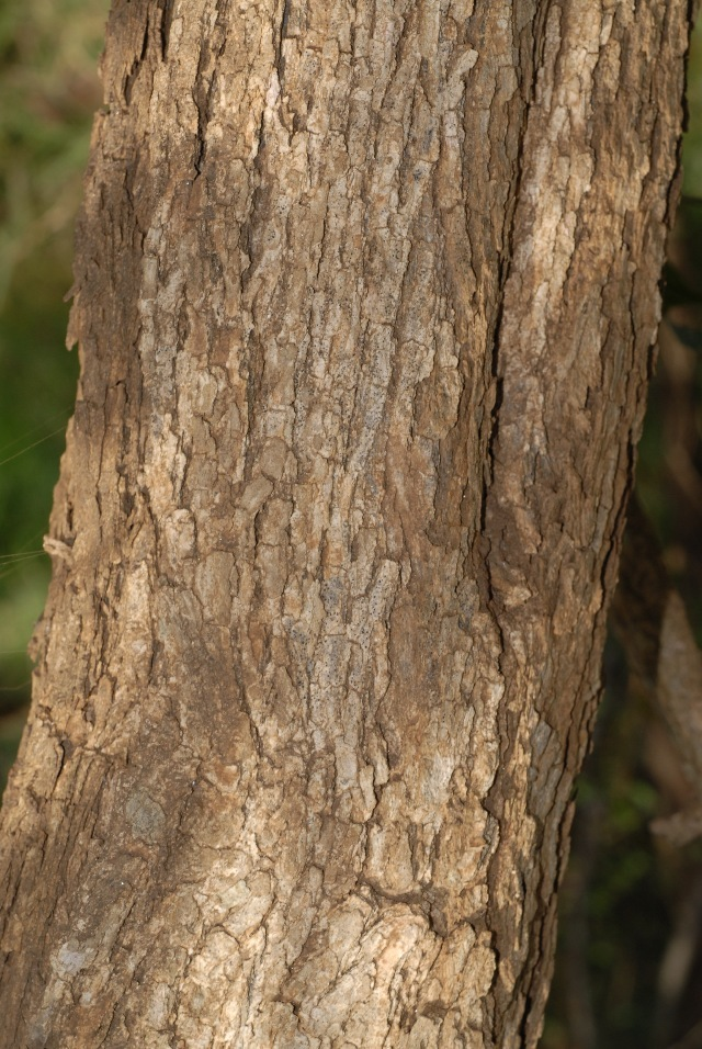 Image of Eared bloodwood
