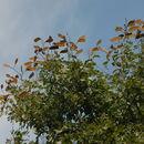539.safh om2517 julbernardia globiflora 4 1276009026 jpg.130x130