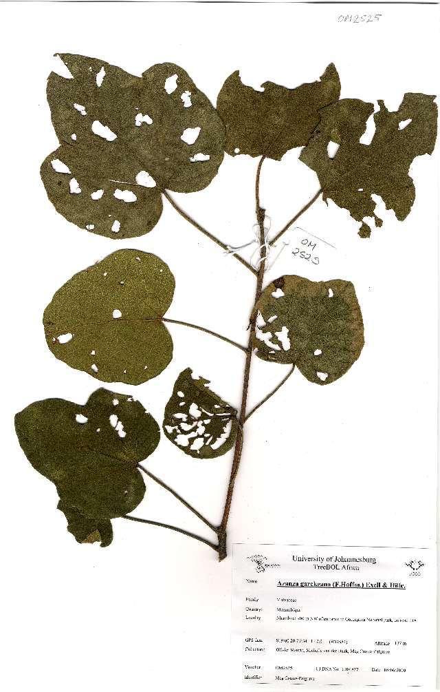 Image of <i>Azanza garckeana</i> (F. Hoffm.) Exell & Hillc.