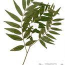 Image of <i>Mundulea sericea</i> (Willd.) A. Chev.