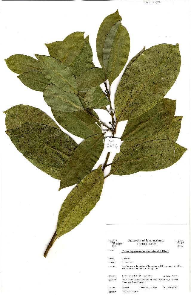 Image of <i>Craterispermum schweinfurthii</i> Hiern