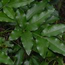 Image of <i>Heteromorpha arborescens</i> var. <i>abyssinica</i> (Hochst. ex Rich.) H. Wolff