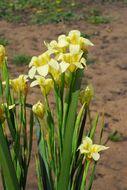 Image of Cape tulip