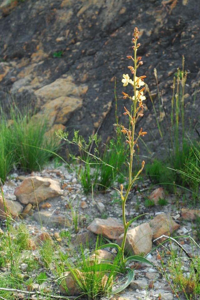 Image of wachendorfia