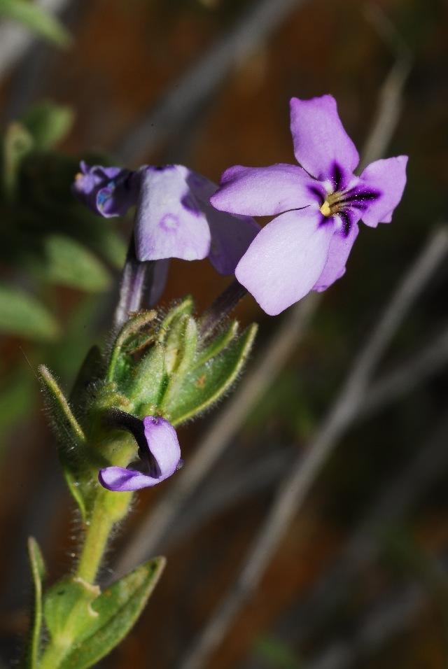 Image of Jamesbrittenia