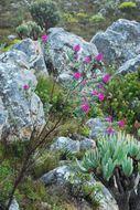 Image of <i>Hypocalyptus sophoroides</i> (P. J. Bergius) Baill.