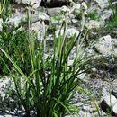 Image of Lanariaceae