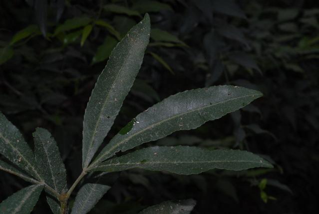 Image of white alder