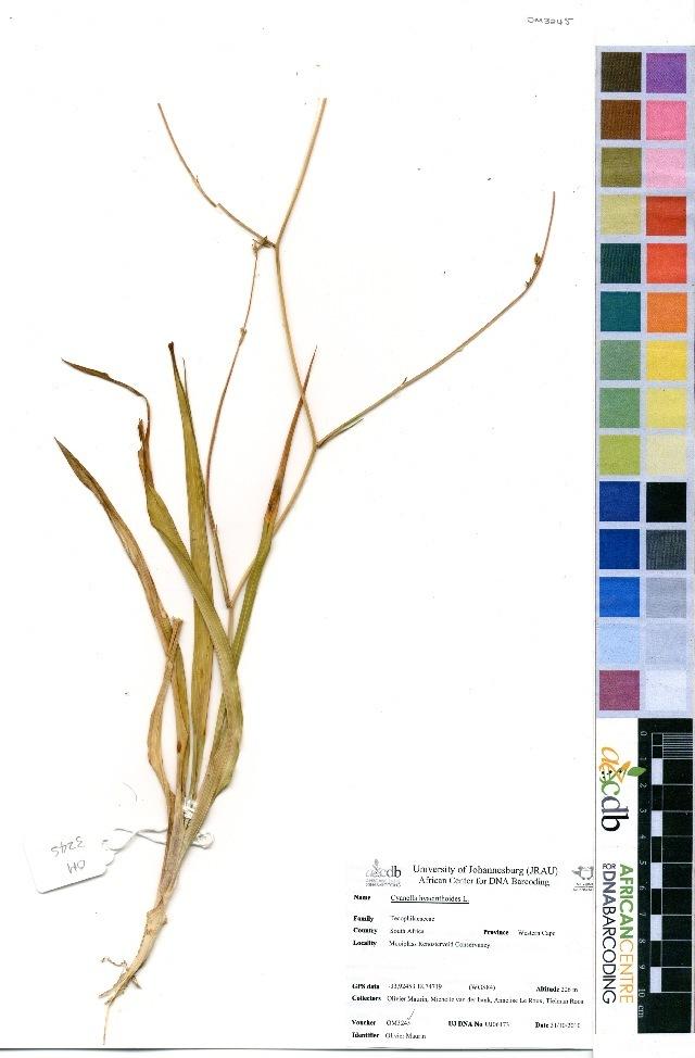 Image of Tecophilaeaceae