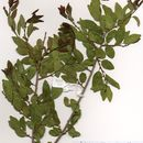 Image of Spirostachys