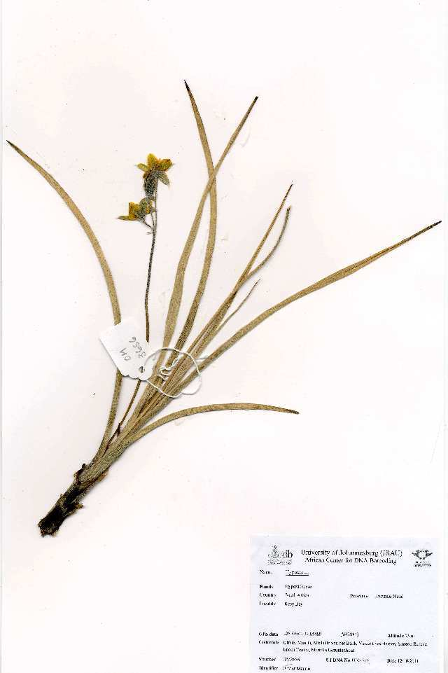 Image of star-grass