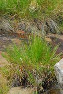 Image of yelloweyed grass