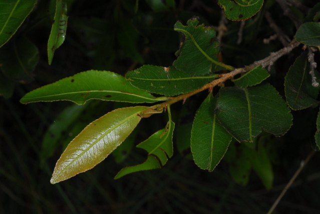 Image of ochna